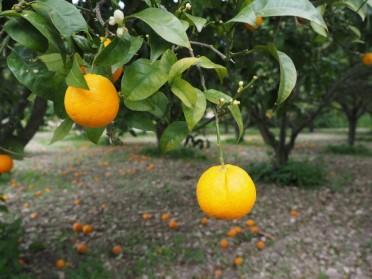 Élagage des orangers : quel est le moment propice ?