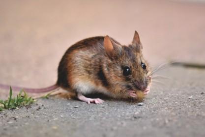 Techniques pour bien installer un piège à souris