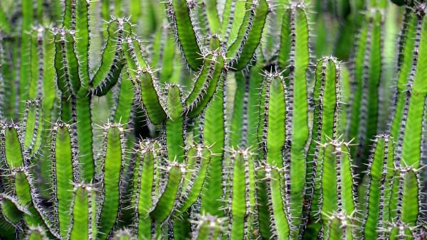 Comment bien planter des cactus dans une serre?
