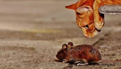 Comment se débarrasser d'une souris dans la maison ?