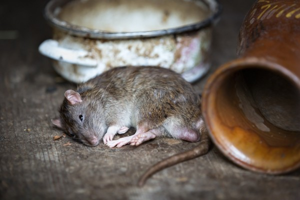 Que faire en cas d'invasion de rats dans un logement ?