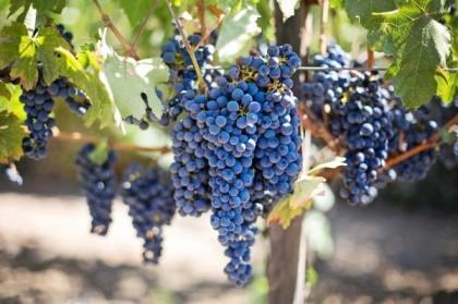 Le vignoble du Jura, précurseur de la qualité