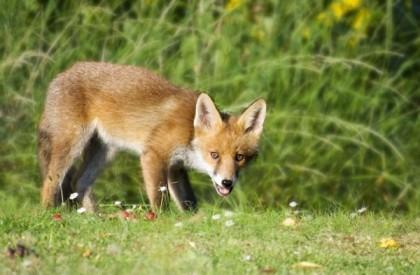 Partir à la chasse du renard : Quelques conseils pratiques